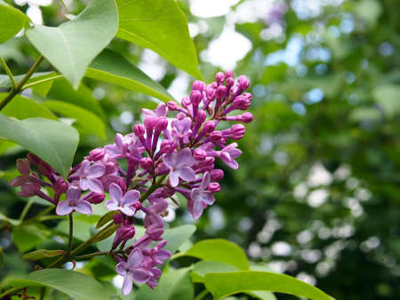 Lilac, blooming branch close-up. Floral background. Spring delicate flowers. The lilac branch is covered with purple flowers and young foliage.