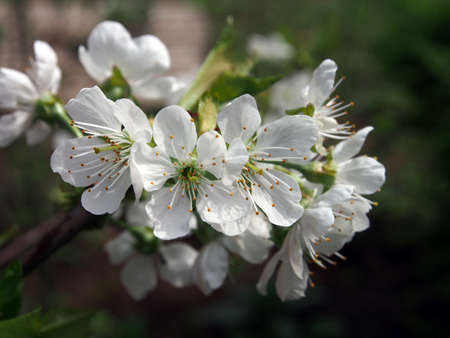 Blooming plum tree closeup. Floristic background. Spring white flowers. Plum-tree branch covered with white flowers and new foliage. Blooming plum.