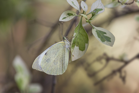 European Large Cabbage White butterfly (Pieris brassicae) feeding on a leaf