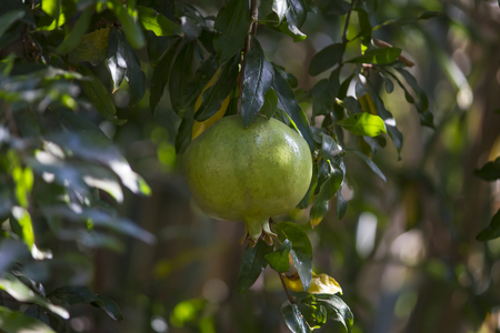 a green pomegranate fruit growing on its tree among green branches