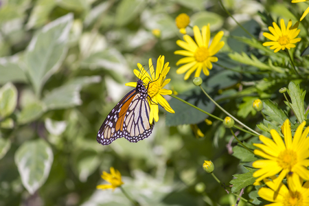 Colorful monarch butterfly sitting on yellow daisy with foliage as background