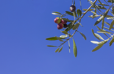 Red and green olives on the branch with a blue sky as background and space for text 版權商用圖片
