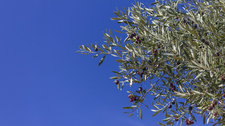 Red, green and black olives on the branch with a blue sky as background and space for text