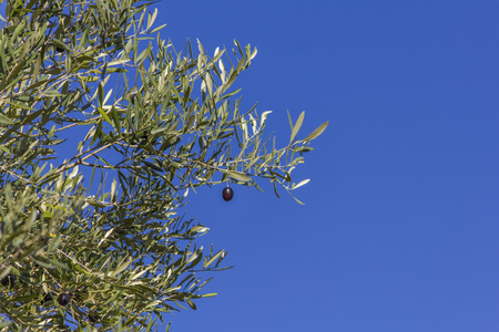Black olive on the branch with a blue sky as background and space for text