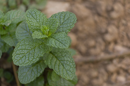 Organic bio mint plant close up, grow at vegetable garden with space for quote