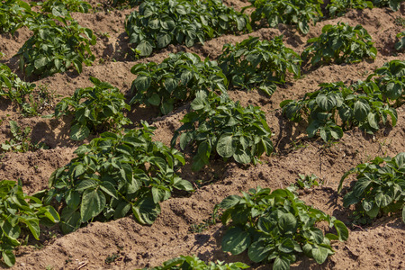 Organic bio healthy potato field in a village in northern Morocco, in a sunny spring day.