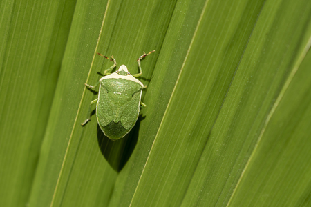 Green insect on green big leaf as background for a quote