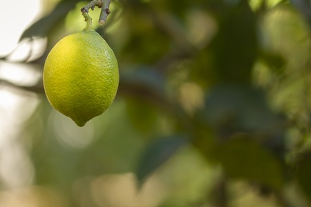 Bio organic lemon fruit hanging on the tree with green blurry foliage as background
