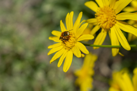 A bee resting on a yellow daisy on sunny spring day picking up nectar to produce sweet honey. 版權商用圖片