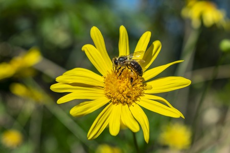 A bee with its legs full of pollen resting on a yellow daisy on sunny spring day picking up nectar to produce sweet honey. 版權商用圖片
