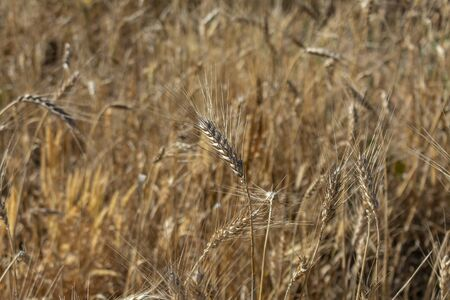 Organic golden wheat spikes ready for harvest growing in a field