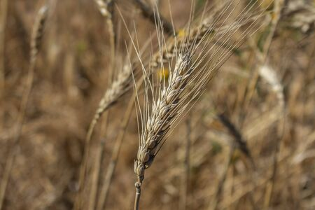 Organic golden wheat spike closeup ready for harvest growing in a field