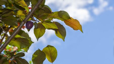 Organic red plum on a tree branch in sunny spring day