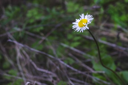 Beautiful Daisy flower with colorful dark background, in a mediterranean forest. 版權商用圖片