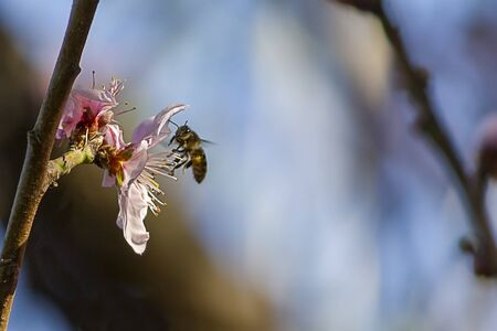 A bee flying towards the flower of a blooming nectarine tree 版權商用圖片