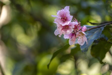 Nectarine blooming flowers, with green background