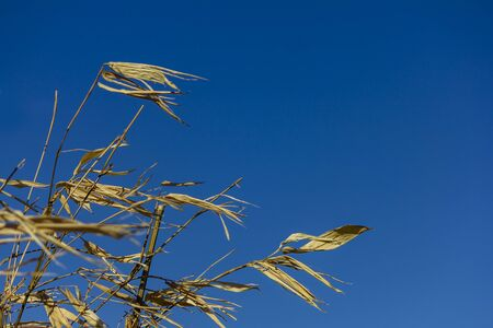 Yellow dry bamboo reeds with blue sky as background, on a windy sunny day.