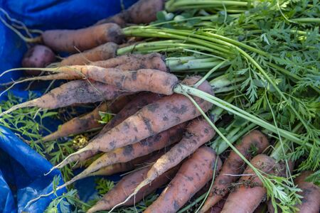 Fresh and organic carrots harvested from the garden. 版權商用圖片