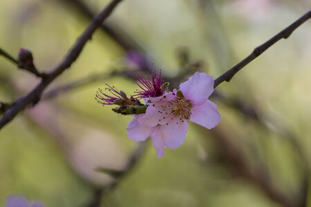 Blooming nectarine tree flowers with blur background
