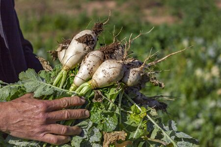 Picking organic turnips on a sunny winter day, fresh healthy seasonal vegetables. 免版税图像
