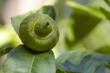A growing lemon on the tree, with green leaves as background.