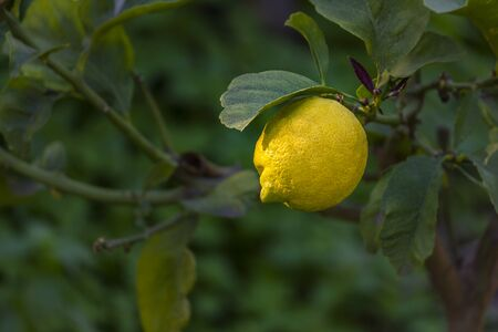 Organic yellow lemon on tree with green leaves as background 版權商用圖片