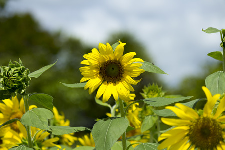 helianthus annuus: A sunflower Helianthus annuus with insects pollinating