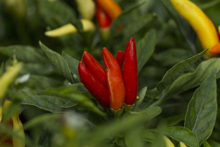 capsicum plant: Cayenne pepper Capsicum annuum L. and its plant Stock Photo
