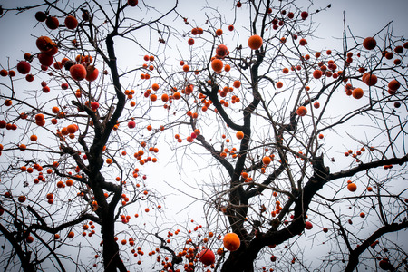 persimmon tree: Persimmon fruits growing on the tree during autumn  Stock Photo