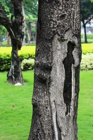 burl wood: tree burl Stock Photo