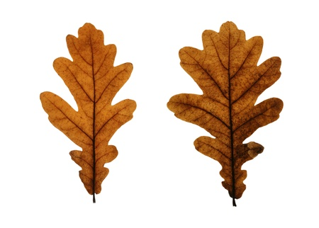 Two yellow leaves of pedunculate oak (Quercus robus) isolated on white photo