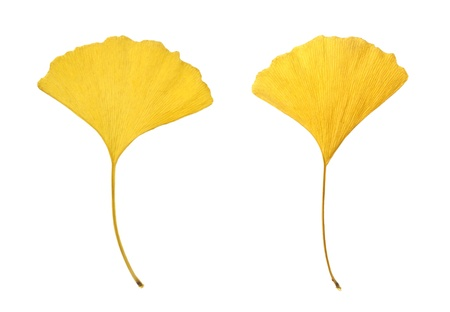 Yellow leaves of ginkgo  Ginkgo biloba  isolated on white photo