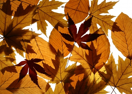 acer palmatum: Texture from leaves of Silver (Acer saccharinum) and Japanese (Acer palmatum) maples and European beech (Fagus sylvatica)