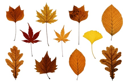 silver maple: Autumn leaves isolated on white: oak, ginkgo, beech, Japanese, silver and sycamore maple and tulip tree Stock Photo