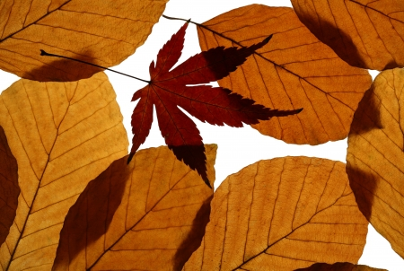 Autumn leaves of European beech (Fagus sylvatica) and Japanese maple  photo