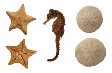 Set of sea animals isolated on white: goose foot starfish, sea horse and sand dollar photo