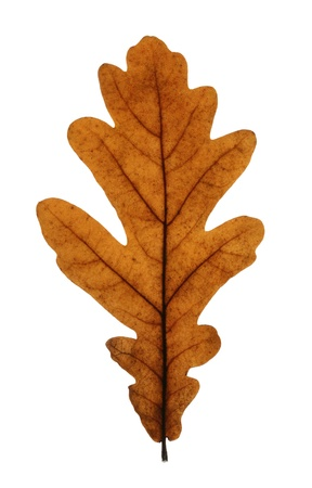Yellow leaf of pedunculate oak (Quercus robus) isolated on white