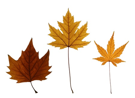 silver maple: Autumn leaves of sycamore maple (Acer Pseudoplatanus), silver maple (Acer saccharinum) and Japanese maple (Acer palmatum) isolated on white