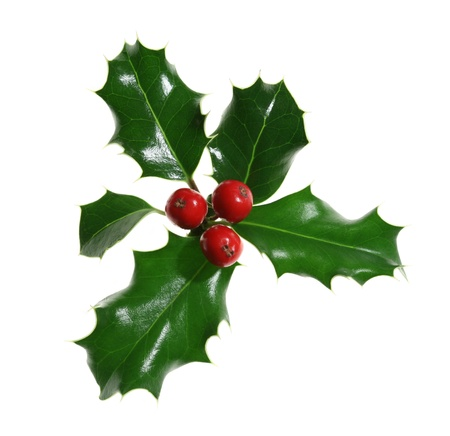 European holly (Ilex aquifolium) isolated on white photo