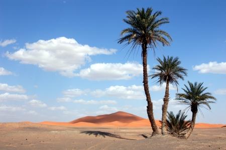 Palm trees in the Sahara Desert, Morocco Standard-Bild