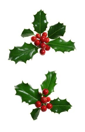 christmas berries: Europeo agrifoglio (Ilex aquifolium) isolato su bianco