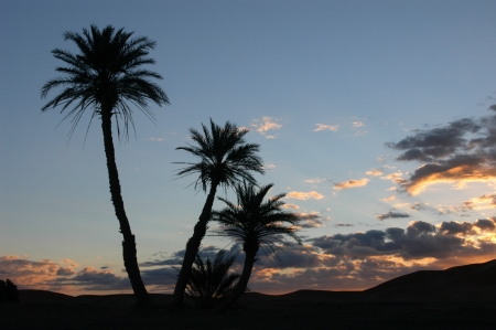 Palm trees in the Sahara Desert, Morocco, at sunrise photo