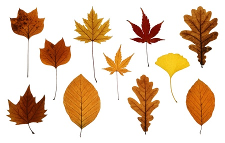 acer palmatum: Autumn leaves isolated on white: oak, ginkgo, beech, Japanese, silver and sycamore maple and tulip tree Stock Photo