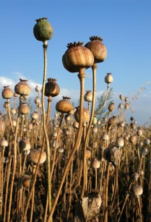 poppy seed: Poppy field in Northern Moravia, Czech Republic