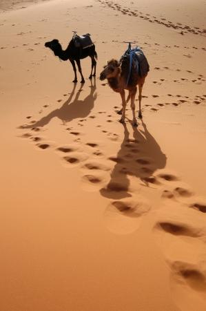 Arabian camels or Dromedaries (Camelus dromedarius) also called one-humped camels in the Sahara Desert, Morocco photo