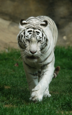 White tiger (Panthera tigris tigris). photo