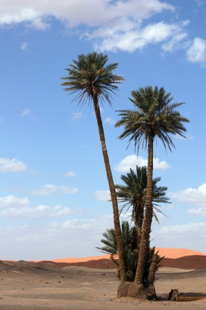 Palm trees in the Sahara Desert, Morocco Stock Photo