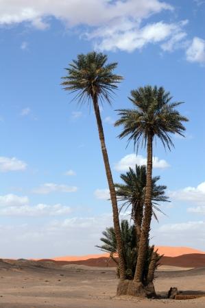 Palm trees in the Sahara Desert, Morocco Reklamní fotografie