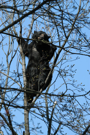 spectacled: Spectacled bear (Tremarctos ornatus) climbed up the tree.