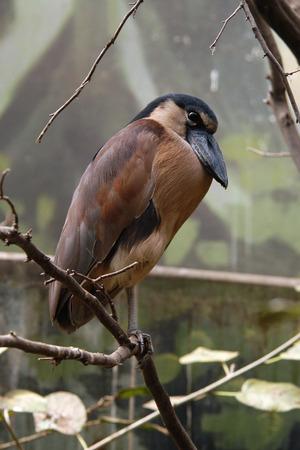 ardeidae: Boat-billed heron (Cochlearius cochlearius).
